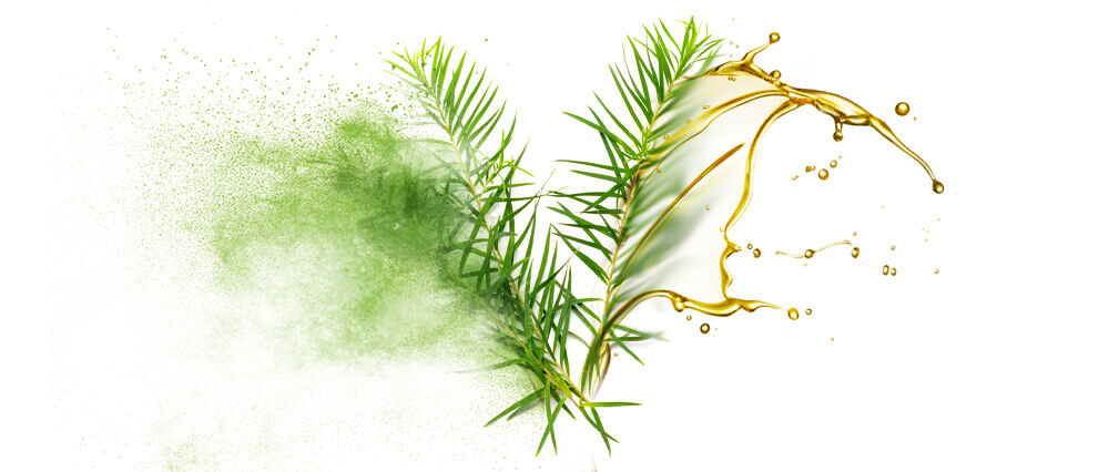 Tea Tree Oils & Oil Powder Wholesaler & Supplier